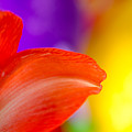 Rainbow Tip Red Amaryllis Petal Tip On A Rainbow Background by Andy Smy