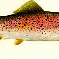 Rainbow Trout by Michael Vigliotti