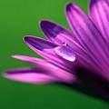 Raindrop On Purple Petal by Jonathon Cuff