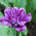 Raindrops Clinging To The Purple Petals Of A Tulip by DejaVu Designs