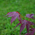 Raindrops On A Japanese Maple by Evelyn Odango