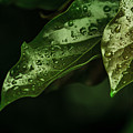 Raindrops On Avocado Leafs by Totto Ponce