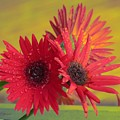Raindrops On Gerbera by Sonali Gangane
