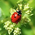 Raindrops On Ladybug by Tracie Fernandez