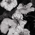 Raindrops On Petals Monochrome by Jeff Townsend