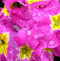 Raindrops On Pink Flowers 2 by Carol Groenen