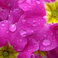 Raindrops On Pink Flowers by Carol Groenen