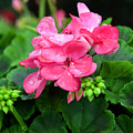 Raindrops On Pink Geranium by Catherine Sherman