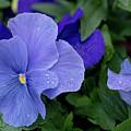 Raindrops On Purple Pansy by E Faithe Lester