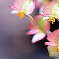 Raindrops On Rare Begoinia Blooms In Macro by Sharon Minish