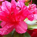 Raindrops Red Azaleas Art Prints Water Drops Azalea Flowers by Baslee Troutman