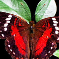 Rainforest Butterfly Ecuador by Thomas R Fletcher