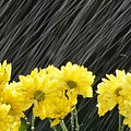 Raining On Yellow Daisies by Natural Selection Craig Tuttle