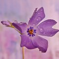 Raining Violet by Barbara St Jean