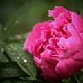Rainsoaked Peony by Marjorie Imbeau