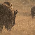 Rainy Bison by Chris Bowman