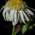 Rainy Daisy by Janice Pariza