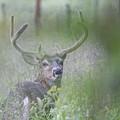 Rainy Day Buck by Steve Carpenter