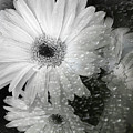 Rainy Day Daisies by Rory Sagner
