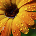 Rainy Day Daisy by Thomas R Fletcher