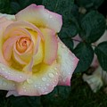 Rainy Day Rose by Anella Harmeyer