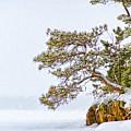 Rainy Lake Pine by Lori Dobbs