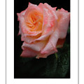 Rainy Rose In Macro Poster by Mike Nellums