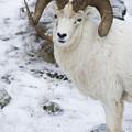 Ram In Profile by Tim Grams