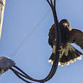 Ramona Hawk 8 by Phyllis Spoor