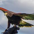 Ramona Hawk Watch 3 by Phyllis Spoor