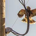 Ramona Hawk Watch 4 by Phyllis Spoor