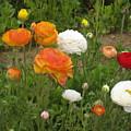 Ranunculus 5 by Marta Robin Gaughen