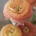 Ranunculus - 6296 by Teresa Wilson