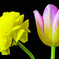 Ranunculus And Tulip by Garry Gay