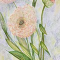 Ranunculus by Norma Duch