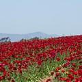 Ranunculus Red by Marta Robin Gaughen