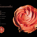 Ranunculus by Terry Davis
