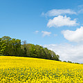Rapeseed Field by Colin Rayner