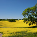 Rapeseed Field,west Sussex, England  by Philip Enticknap
