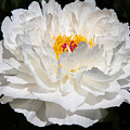 Rare China Peony by Chris Scroggins