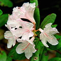 Rare Florida Beauty - Chapmans Rhododendron by Barbara Bowen