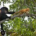 Rare Golden Monkey by Heather Coen