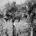 Rare Palm Trees Curacao by For Ninety One Days