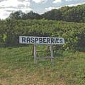 Raspberry Fields Three by September  Stone