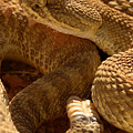 Rattlesnake And Rattle by Max Allen