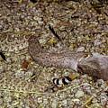 Rattlesnake Devouring Rabbit by Elizabeth Hershkowitz