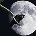 Raven Barking At The Moon by Wingsdomain Art and Photography
