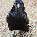 Raven by Elizabeth Abbott