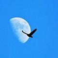 Raven Flys Past Quarter Moon by Deborah Moen