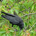 Raven In The Cherry Tree by Valerie Ornstein